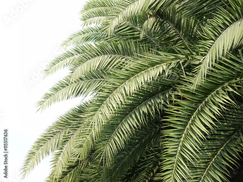 Leaves of palm tree isolated on white background - 115517636