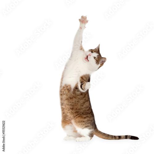 Naklejka Katze steht auf Hinterbeinen isoliert