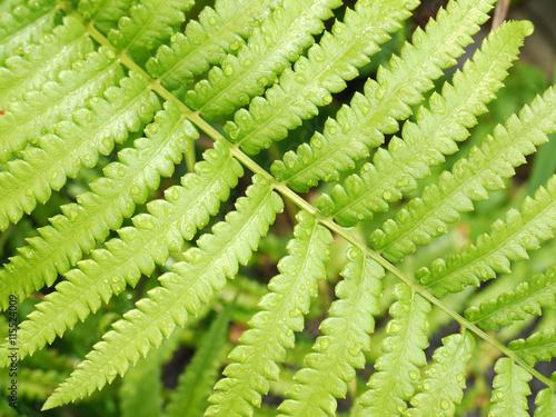 Poster Landschappen Bright green fern leaf with water droplets