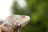Profile of an iguana