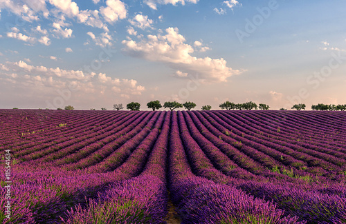 Foto op Aluminium Crimson Gentle pink sunrise over the endless lavender fields in Provence, France