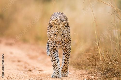 obraz lub plakat Leopard walking towards the camera.
