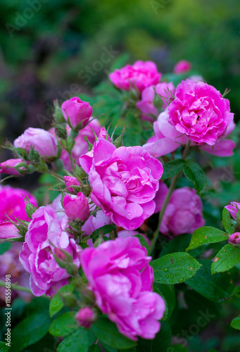 Zdjęcia na płótnie, fototapety, obrazy : pink roses in garden
