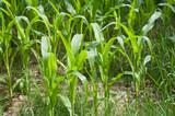 détail champ de maïs