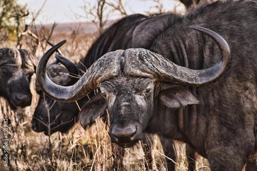 fototapeta na ścianę Cape Buffalo