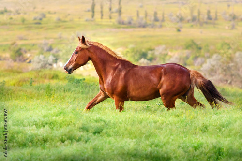 Billede Red mare trotting in field