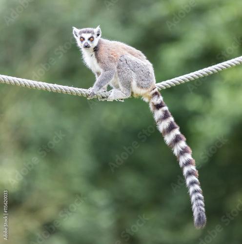 obraz PCV Ring-tailed lemur (Lemur catta)