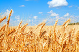 Background of wheat field with ripening golden ears - 115620404