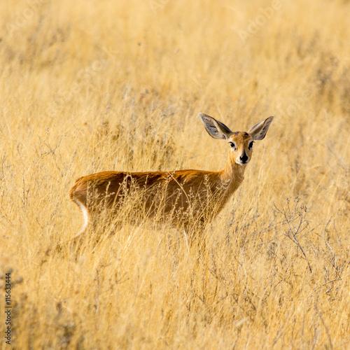 obraz lub plakat Steenbok