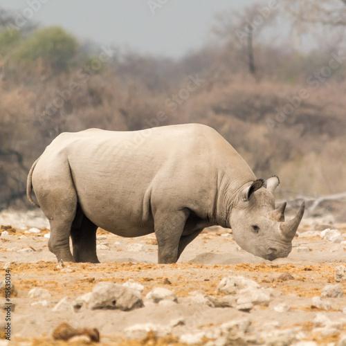 obraz lub plakat Rhinoceros