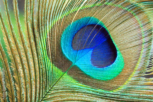 Fotobehang Pauw Macro Peacock Feather