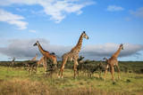 A herd of giraffes in the African savannah .