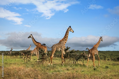 Poster A herd of giraffes in the African savannah .