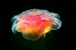 Cyanea jellyfish (also known as Lion Jelly) swims in the dark.