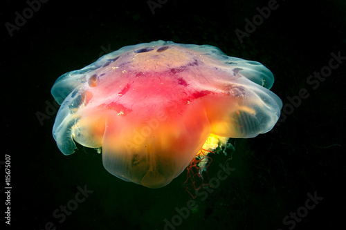 Poster Cyanea jellyfish (also known as Lion Jelly) swims in the dark.