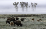 Bison family in the field and mist of morning in Yellowstone National Park