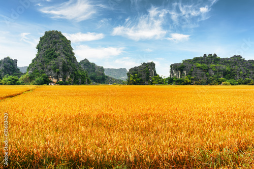 Amazing view of yellow rice fields among scenic karst mountains