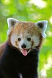 Panda roux, Ailurus fulgens