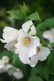 Filadelfo. Cespuglio dai fiori bianch. Philadelphus