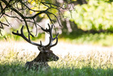Red Deer stag resting in the shade on a warm summer day