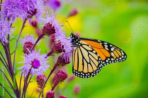 Deurstickers Vlinder Monarchs