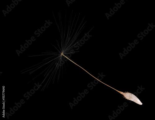 single isolated on black dandelion seed