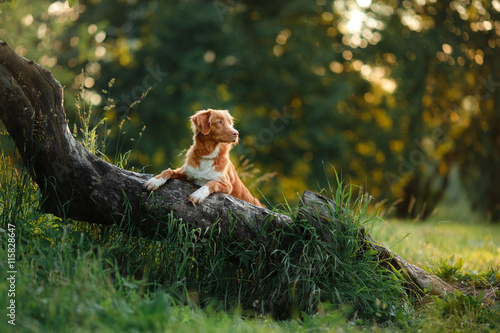 Poster dog walks on nature, greens, flowers Nova Scotia Duck Tolling Retriever