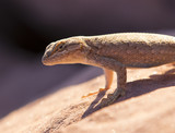 Desert Life - lizard in Arches National Park, Utah