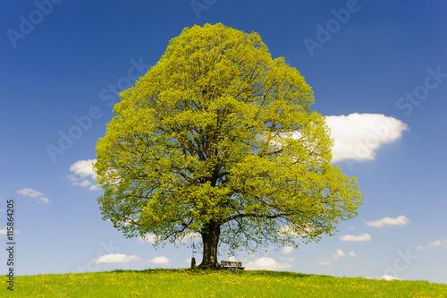 fototapeta na ścianę Linde als Einzelbaum im Frühling