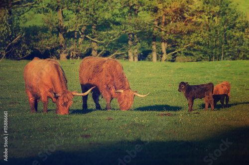 Poster Scotland highland hairy red cows with calfs grazing at the green summer meadow,