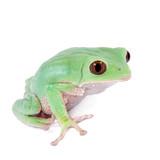 Trinidad Monkey Leaf Frog on white background