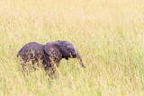 Elephant calf standing in the grass and watching