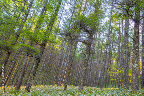 Beautiful green pine forest in spring morning