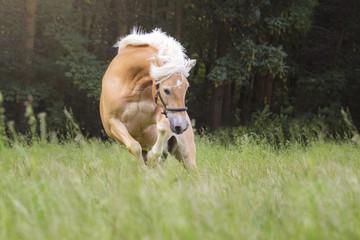 Pferd bockt © S. Fischer