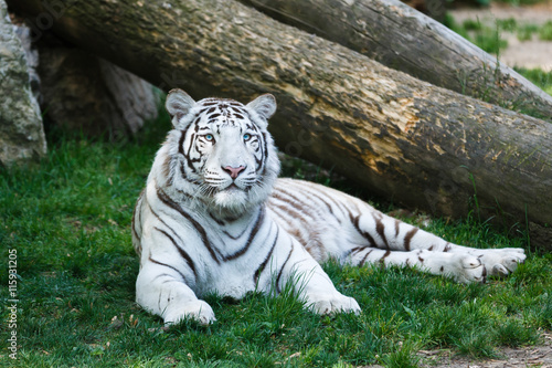 Poster The white tiger
