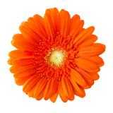 Blume Gerbera