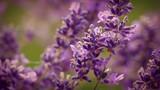 Pretty Lavender Flowers Closeup