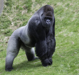 big gorilla showing his power - 115937664