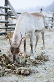 Reindeer eating moss