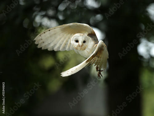 Close up of a Barn Owl in flight