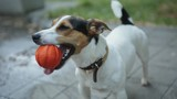 small dog breeds Jack Russell Terrier with a bright orange ball in his mouth and his tongue hanging out