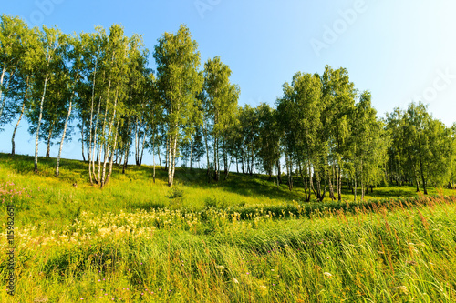 Birch forest at sunny summer day.