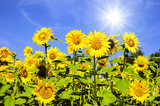 Sunflowers: color of summer :)