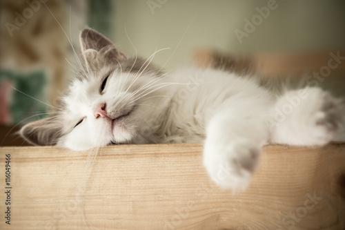 Poster Portrait of sweet sleep white cat
