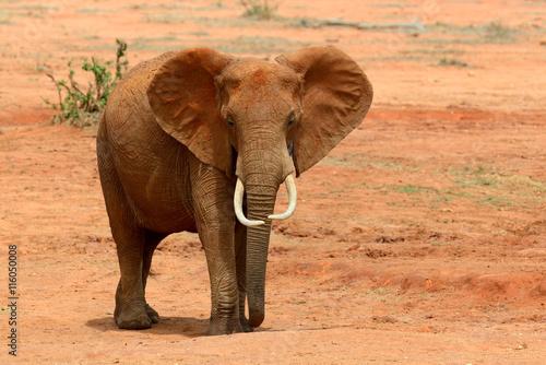 Fototapeta Elephant on savannah in Africa