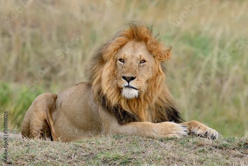 Fototapeta African lion in the Park South Africa
