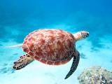 tortue verte nageant à Mayotte