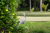 The grey heron - Ardea cinerea