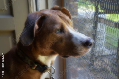 Poster Portrait of Tan Dog Staring out Screen Door