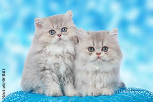 Naklejka Zwei niedliche Perserkatzen Babies vor blauem Hintergrund